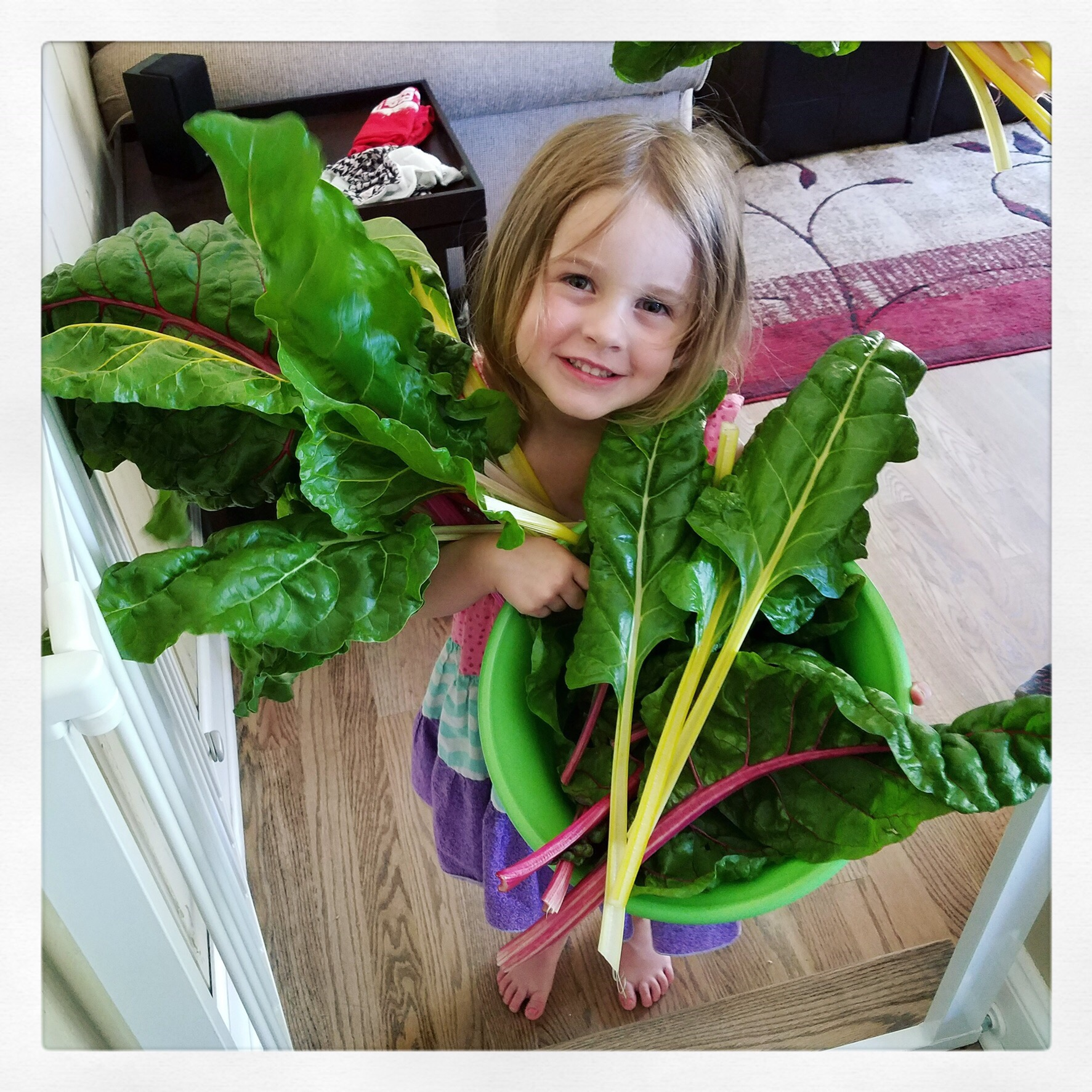 Carrying in the swiss-chard from the garden